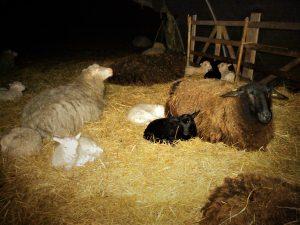 mitten in der schlafenden Herde